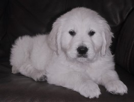 Puppies - Castanet Classifieds - Ads for Kelowna, Penticton