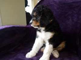 Puppies - Castanet Classifieds - Ads for Kelowna, Penticton, and