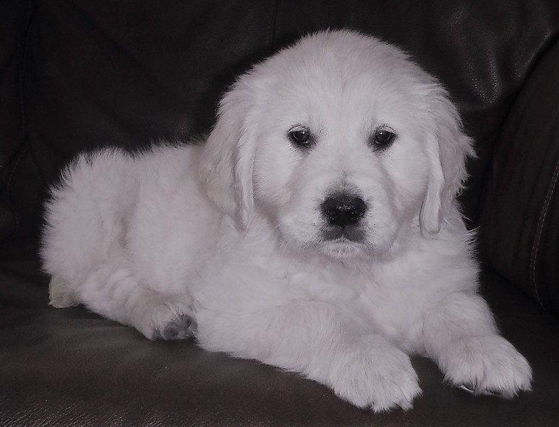 CKC English Cream Golden Retriever - Castanet Classifieds