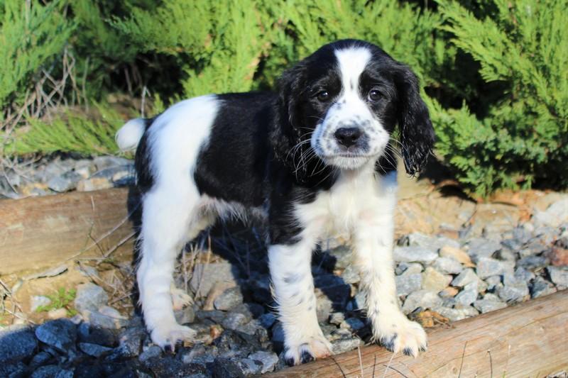 Reg'd Springer Spaniel Pups (field) - Castanet Classifieds